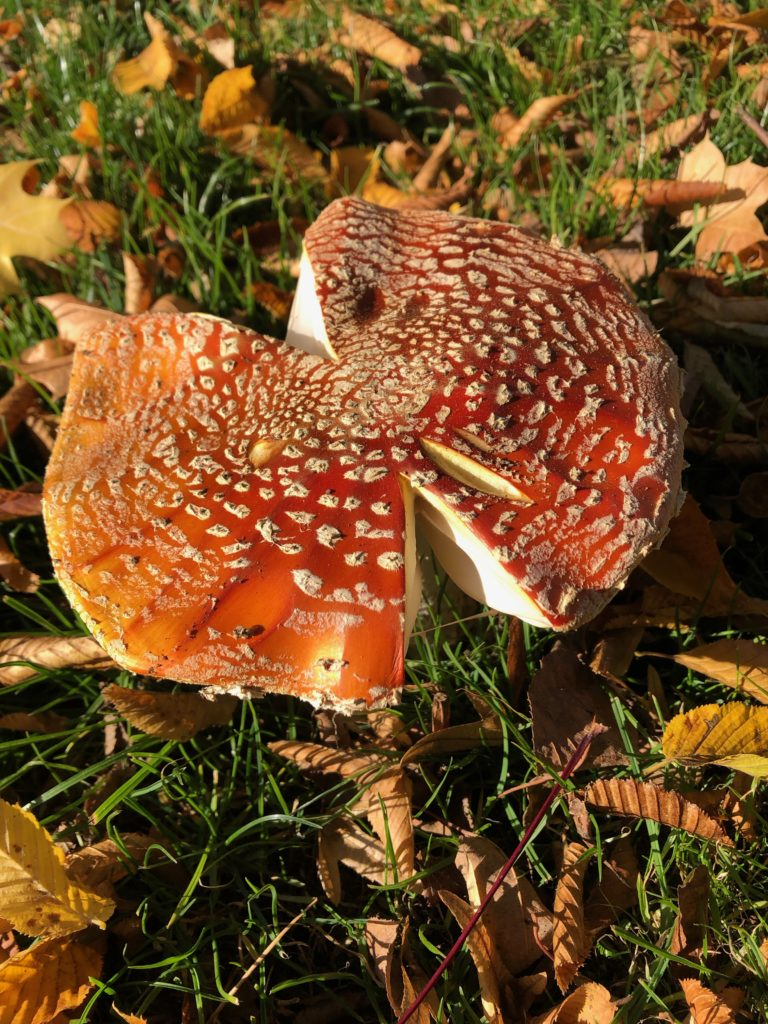Amanita muscaria, fly agaric