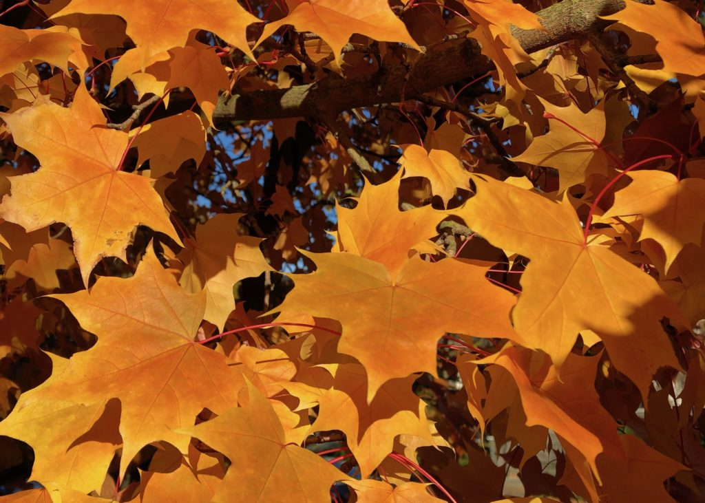 golden leaves of a maple